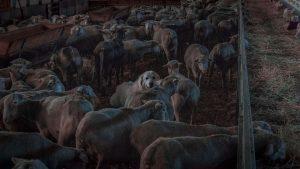 Herdershond bij Flouka Merino Wool