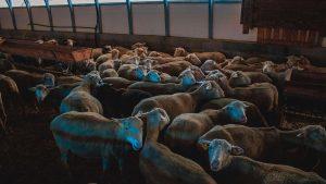 schapen boerderij in Le Dévoluy