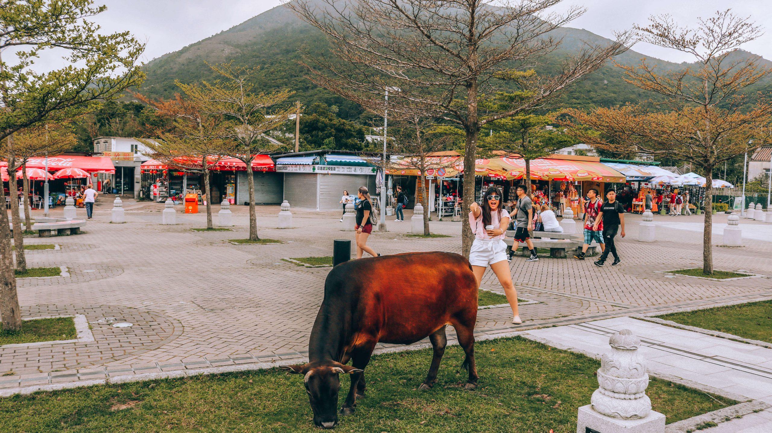 Ngong Ping Village cows